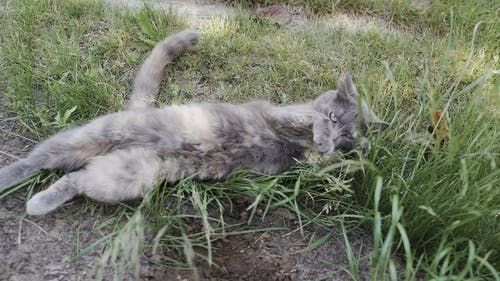 Video Of Cat Laying On The Grass