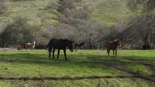 Brown And Black Horses On A Grazing Land