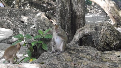 Monkey Sitting On The Roots Of A Big Tree