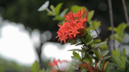 Close Up View of a Ixora Flowering Plant
