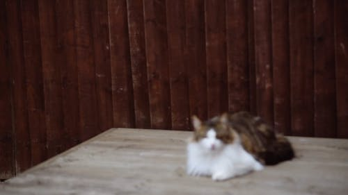 Tabby Cat on Wooden Surface