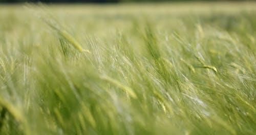 Selective Focus of Rye Plants Swaying