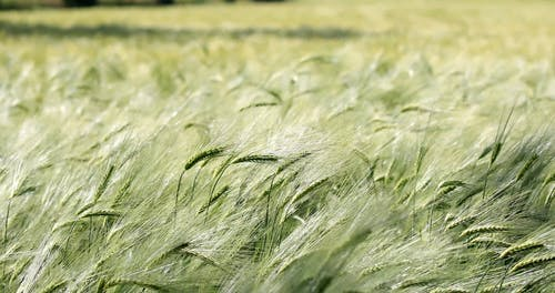 Shallow Focus of Rye Plants Swaying