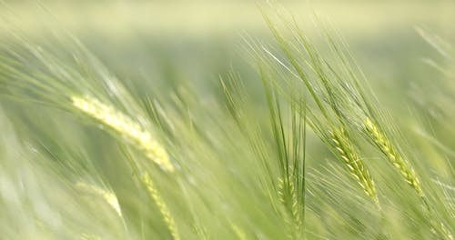 Close-Up View of Rye Plants Swaying