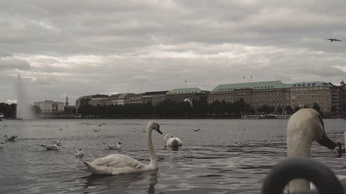 Video Of Swans Swimming In The River