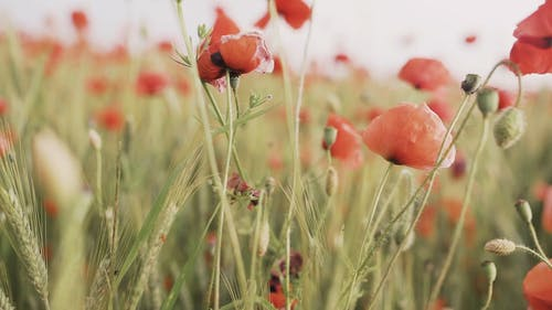 Selective Focus of Red Poppy Flowers