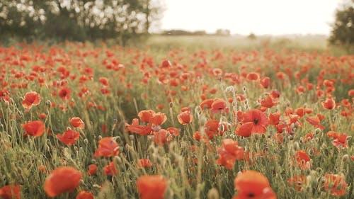 Shallow Focus of Red Poppy Flower Field