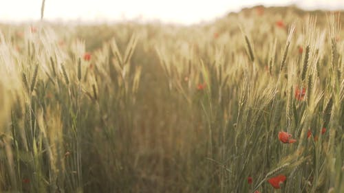 Selective Focus of Wheat and Red Poppy Flowers