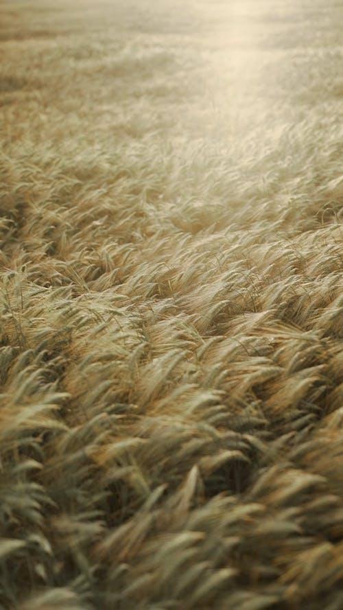 Rye Plants in Field