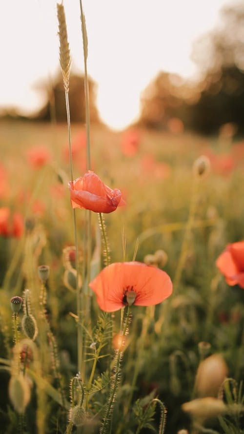Shallow Focus of Red Poppy Flowers