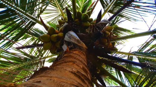 The Top Of A Coconut Tree Full Of Fruits