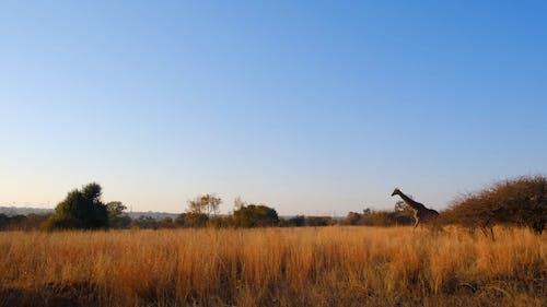 Video Footage Of A Walking Giraffe