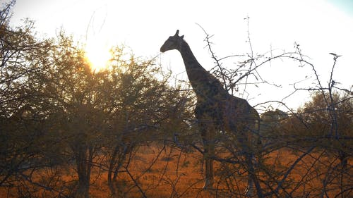 A Giraffe Feeding On Leaves Of A Shrubs