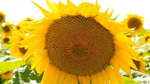 Close-Up Shot of Sunflowers