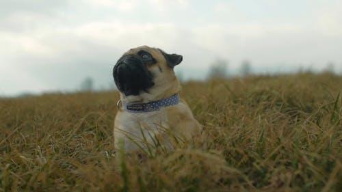 A Pet Pug Resting On Grass Field