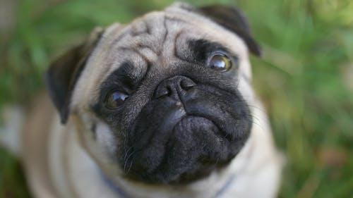 An Adorable Pug