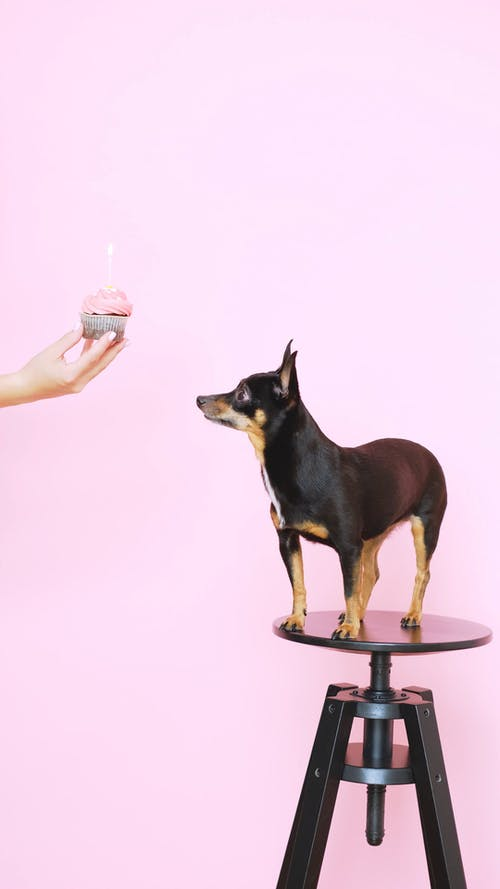 Hand Holding a Cupcake and a Small Dog on a Stool