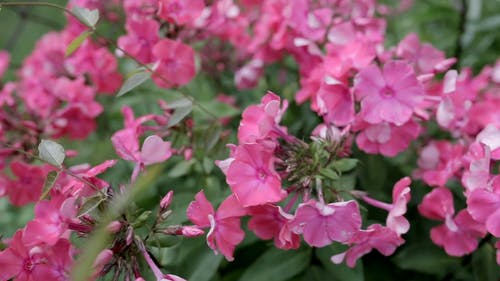 Pink Flowers Swaying in the Wind