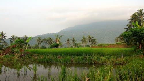 Rice Field Under Cloudy Sky