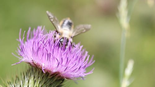 Bees Feeding On Nectar Of A Spear Thistle Flower