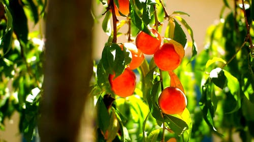 Peaches Hanging On Stems Of A Peach Tree