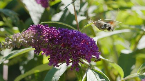 A Hawk Moth Feeding on Flowers