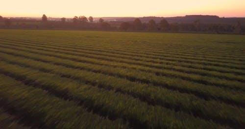An Aerial Footage of a Tea Plantation