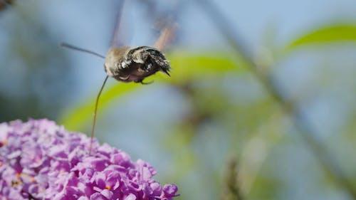 A Moth Feeding on Flowers Nectar