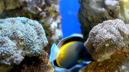 Close-up Footage Of Blue Tang Fish Underwater