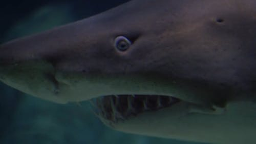 Close-up Footage Of A Shark Underwater