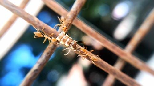 Ants Teamwork In Bringing Food