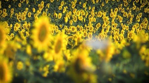 An Scenic Sunflower Field