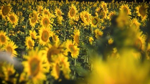 Sunflowers Plantation In A Farm Field