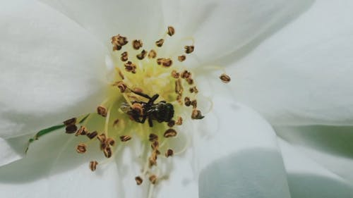 Close Up View of a Bee on a White Flower