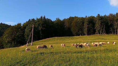 Sheep on the Grassland