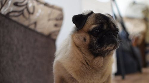 Close-Up View of Cute Brown Pug