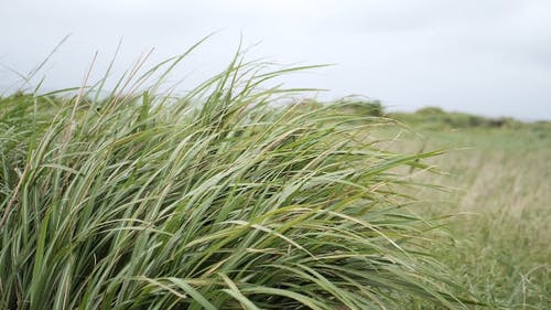Grass Being Blown by the Wind