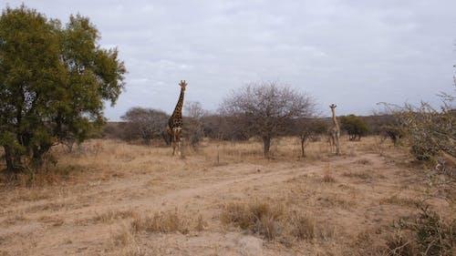 Two Giraffes Standing on Dry Grassfield