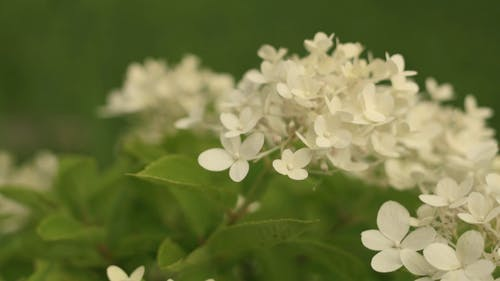 Close-Up View of White Flowers