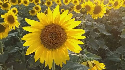 Close-Up View of a Sunflower