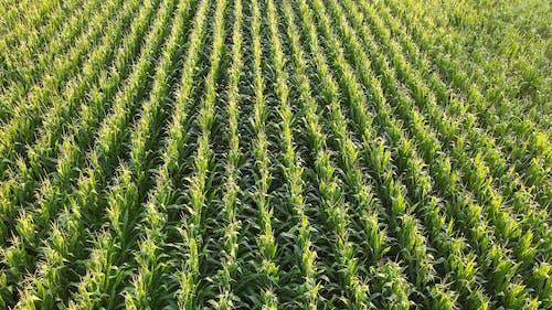 Drone Footage of Corn Field