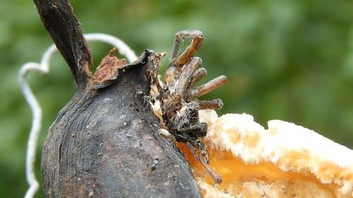 Black Ants Eating Dead Spider