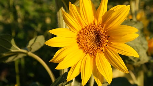 Close-Up View of a Beautiful Sunflower