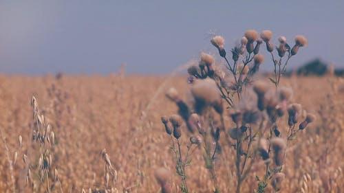 Thistle Flowers in Field