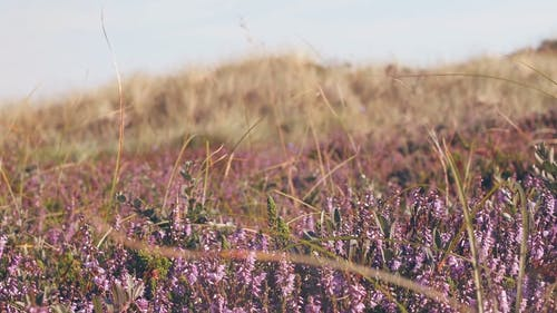 Cool Breeze at Lavender Fields