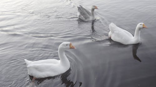 Three Geese Sailing in Water