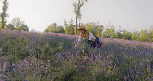 Woman Picking Lavender Flowers from Fields