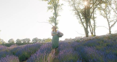 Beautiful Woman with Flower Basket Walking through Lavender Farm