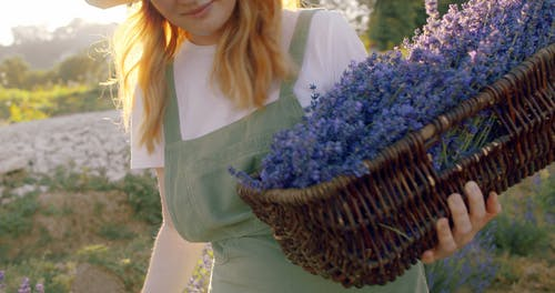 Slow Motion Clip of Woman Collecting Lavender in her Basket