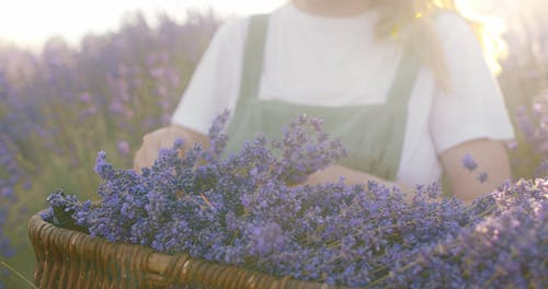 Close-Up View of a Person Arranging Lavenders in a Basket